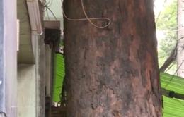 TP.HCM: Nhiều cây cổ thụ bị nhà dân chèn lấn
