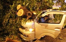 TP.HCM: Cây cổ thụ bật gốc, đè bẹp ô tô trong cơn dông lớn