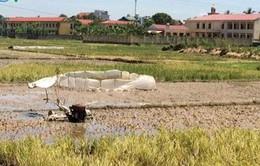 Đang cày ruộng, một nông dân bị điện giật tử vong