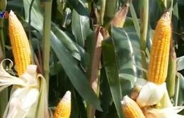 Quảng Trị: Khảo nghiệm giống cây trồng chịu hạn