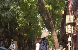 Hà Nội: Kiến nghị chặt hạ cây xà cừ có nguy cơ gãy đổ trên phố Hàng Chiếu