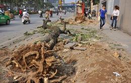 Hà Nội: Hàng nghìn cây xanh bị đốn hạ