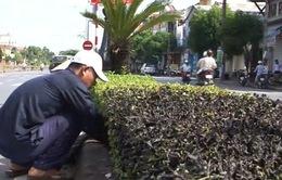TT-Huế: Hàng loạt cây xanh chết khô vì bị đầu độc?
