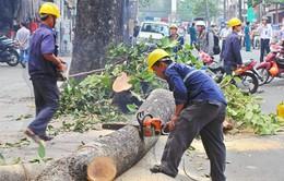 UBND TP Hà Nội yêu cầu khẩn trương thanh tra việc thay thế cây xanh