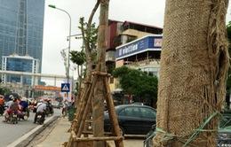 Bắt đầu thay thế cây xanh một số tuyến phố Hà Nội