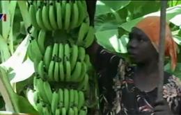 Hồi sinh ngành công nghiệp xuất khẩu chuối tại Somalia