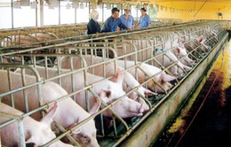 Chương trình Hội nhập: Chăn nuôi trước thách thức TPP (21h00, VTV1)