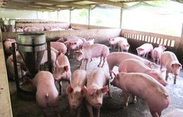 Bắc Giang, Tây Ninh: Có tình trạng sử dụng chất cấm tạo nạc trong chăn nuôi