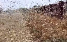 Nga: Châu chấu hoành hành, 10% hoa màu thiệt hại hoàn toàn