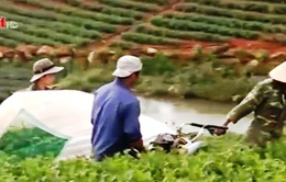 Thiếu nơi tiêu thụ, hàng chục hecta chè Đà Lạt bị cắt bán rẻ