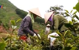 Thái Nguyên: Người trồng chè khó khăn vì bọ cánh tơ