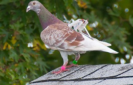 Chim vỗ cánh tạo ra điện năng