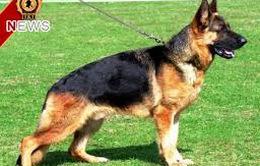 Anh: Thử nghiệm chó hỗ trợ bác sỹ điều trị ung thư