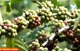 Sản lượng cà phê có thể giảm 20% trong năm 2015