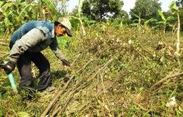Hậu Giang chặt hơn 3.000 ha cam sành nhiễm bệnh