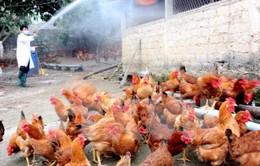 Tăng cường phòng chống dịch cúm gia cầm lây sang người