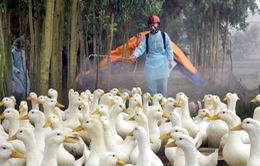 Cảnh báo nguy cơ bùng phát cúm gia cầm dịp cuối năm 2015