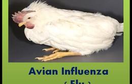 Mỹ cảnh báo dịch cúm gà cho nông dân