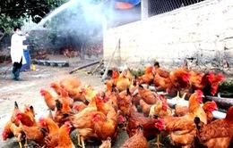 Tăng cường khống chế dịch cúm gia cầm ở Lào Cai