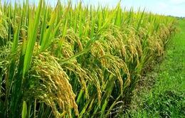 Tìm thấy gen lúa vừa ngon thơm, vừa năng suất cao