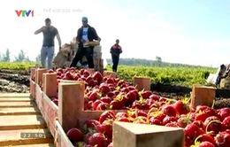 Mùa thu hoạch dâu tây ở nông trường lớn nhất nước Nga