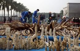 Trung Quốc tiêu hủy nửa tấn ngà voi