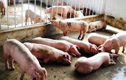 Dịch lợn tai xanh xuất hiện ở Sóc Trăng