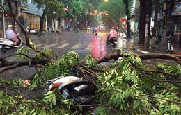 Hàng loạt cây đổ do mưa, dông lớn ở Hà Nội