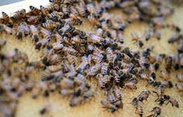 """Trung Quốc: Va chạm xe, hàng triệu con ong """"xổng chuồng"""""""