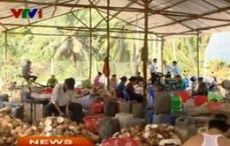 Giá dừa khô tại ĐBSCL giảm mạnh