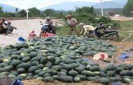 Bấp bênh cuộc sống người trồng dưa