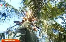 Bến Tre: Lễ hội dừa 2015 cận kề, dừa vẫn giảm giá mạnh