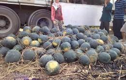 Quảng Nam không còn dưa hấu để thu hoạch bán ra thị trường