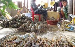 Khánh Hòa: Người nuôi tôm hùm bị ép giá gay gắt