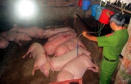 Bắt quả tang cơ sở bơm nước và thuốc an thần vào lợn