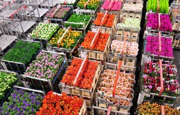 Chợ hoa lớn nhất thế giới chuẩn bị cho ngày Valentine