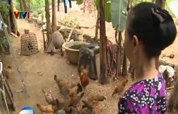 """Hơn 1.200 con gà hỗ trợ dân""""cấp nhầm"""" cho cán bộ xã"""