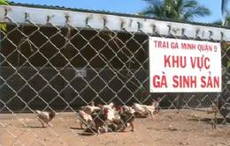 TPHCM: Thu nhập hàng tỷ đồng từ nuôi gà Đông Tảo