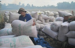 Việt Nam dự thầu bán 250.000 tấn gạo cho Philippines