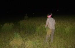 Trốn nắng, nông dân ra đồng làm việc từ nửa đêm