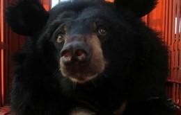 Cứu hộ thành công 2 cá thể gấu về Tam Đảo
