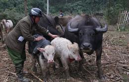 Bộ NN&PTNT ra Chỉ thị về phòng chống rét cho gia súc