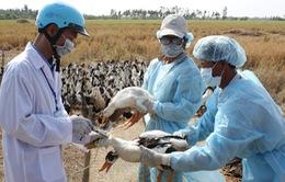 Kon Tum khoanh vùng ổ dịch, ngăn chặn dịch cúm gia cầm bùng phát