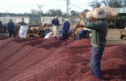 Giá cà phê Việt xuất khẩu giảm mạnh do tin đồn thất thiệt