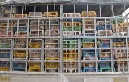 Quảng Ninh: Bắt giữ trên 15.000 con gà giống nhập lậu
