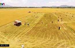 Giá lúa tại đồng bằng sông Cửu Long tăng nhẹ