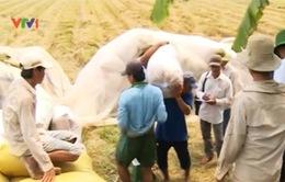 Giá lúa gạo ở Đồng bằng sông Cửu Longtiếp tục giảm