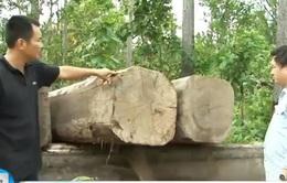 Gia Lai: Phát hiện bãi gỗ vô chủ số lượng lớn