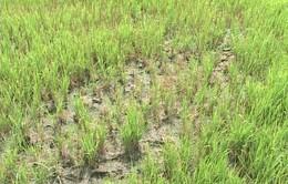 Trà Vinh: Gieo sạ lại hơn 100ha lúa do khô hạn