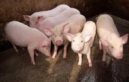 TP.HCM: Siết chặt việc kiểm soát heo thịt vào thành phố